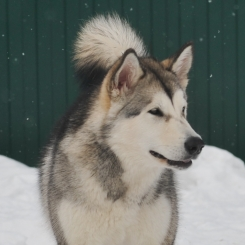 Аляскинский маламут Байрак Азскас Юнона