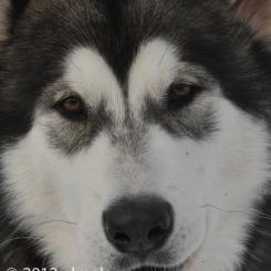 Аляскинский маламут Визард